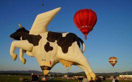 Fiesta Krava